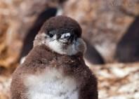 42 BIRDERS Martin Iriarte-Pinguino de Magallanes