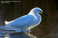 08 BIRDERS H Tolosa-Garcita blanca (Egretta thula)