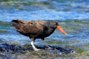 25 BIRDERS H Tolosa-Ostrero negro (Haematopus ater)