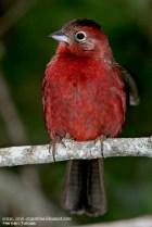 40 BIRDERS H Tolosa-Brasita de fuego (Coryphospingus cucullatus)