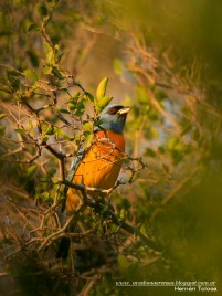 43 BIRDERS H Tolosa-Naranjero (Pipraeida bonariensis)