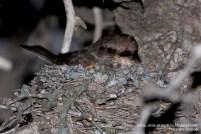 54 BIRDERS H Tolosa-Churrinche (Pyrocephalus rubinus) hembra