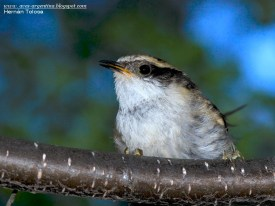 55 BIRDERS H Tolosa-Rayadito (Aphrastura spinicauda)