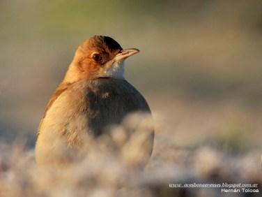 57 BIRDERS H Tolosa-Hornero (Furnarius rufus)