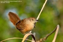 61 BIRDERS H Tolosa-Espinero pecho manchado (Phacellodomus striaticollis)
