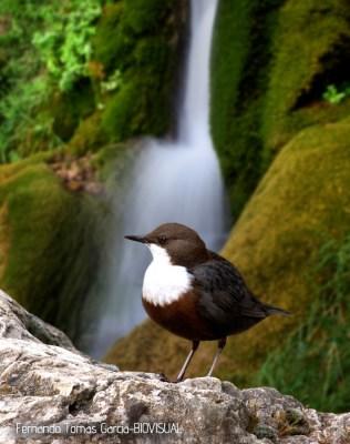 24 BIRDINGMURCIA - Biovisual - mirlo acuatico