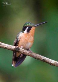 12 Joy Murillo - birdingmurcia