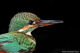 18 I. Arnaldos-birdingmurcia