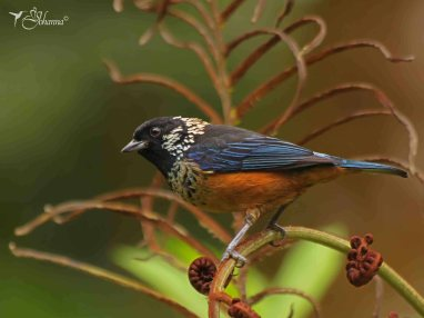 23 Joy Murillo - birdingmurcia