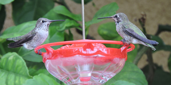 Female Anna's and Juvenile male Anna's Hummingbird (?)