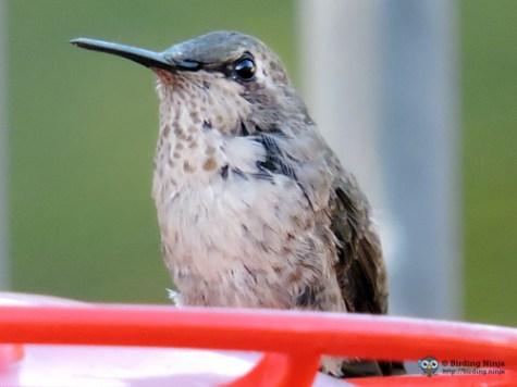 Hummingbird http://birding.ninja