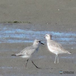 Unknown Plovers