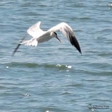 Yellow/orange beak, white wings with black tips