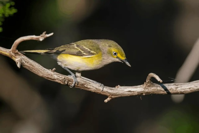 This image has an empty alt attribute; its file name is White-eyed-Vireo-1024x683.png