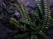Common Maidenhair Spleenwort