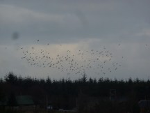 Starlings and thrushes