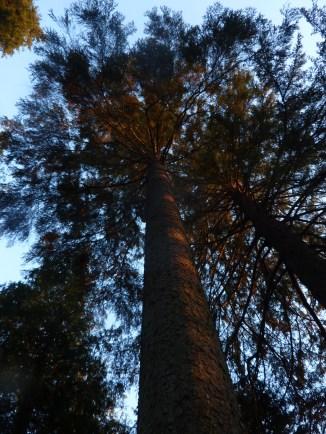 54m Sitka Spruce