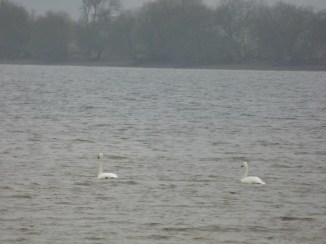 Whooper Swans courting
