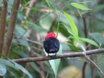 Red-capped Manakin at Carara National Park 3-16-2015