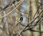 Yellow-rumped Warbler - High Cliff 4-28-2015
