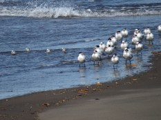 Royal Terns and Sanderlings.