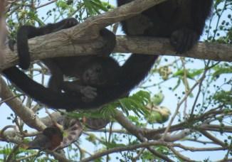 Mantled Howler Monkeys - 3-17-2015