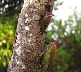 The male came out to see who was at his front door. The male Golden-olive Woodpecker has a red malar stripe, distinguishing it from the female.