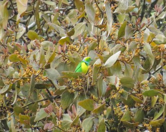 Golden-browed Chlorophonia (male) - Costa Rica 3-18-2015