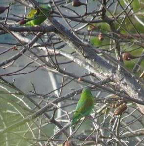I love the subtle shades of green, blue, and ochre in this species. Orange-chinned Parakeet - Costa Rica 3-19-2015