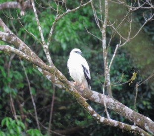 A distant White Hawk - all photos taken through the bus window. Photos don't do this raptor justice. Costa Rica 3-19-2015