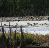 Part of the flock of 35 White-rumped Sandpipers - Brillion Wildlife Area 10-10-2015