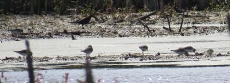 Rusty Blackbirds were feeding behind the sandpipers.