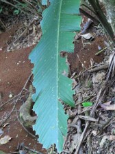 The handy work of Leaf Cutter ants - Costa Rica 3-22-2015