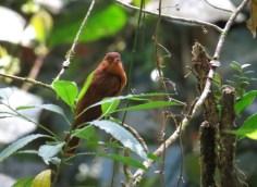 Rufous Mourner - Costa Rica 3-22-2015