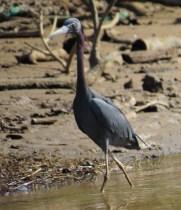 Little Blue Heron - Costa Rica 3-22-2015