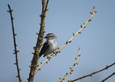 Chipping Sparrow - Horicon, WI 4-23-2016