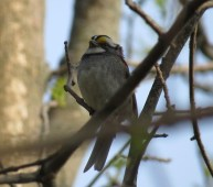 White-throated Sparrow - Mosquito Hill 5-7-2016
