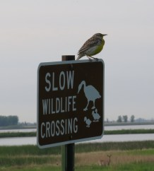 """The Law"" in South Dakota - the birds are not only the highlights here, but enforce the law. Western Meadowlark - Sand Lake, South Dakota 5-27-2016"