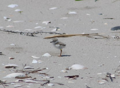 Piping Plover Chick! (Image by David Horowitz)