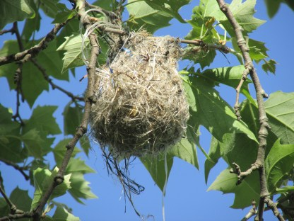 Finished Baltimore Oriole nest (Image by BirdNation)