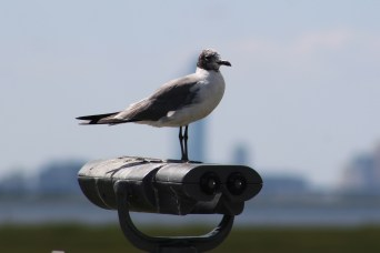 A Laughing Gull molting his black hood (Image by BirdNation)