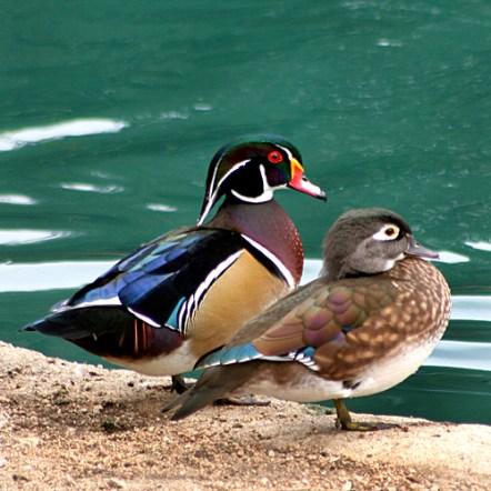 Wood Ducks (Image via birdinginformation.com)