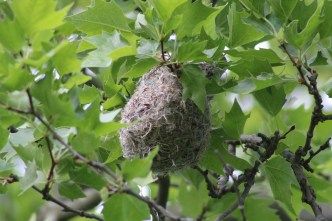 Baltimore Oriole nest (Image by BirdNation)