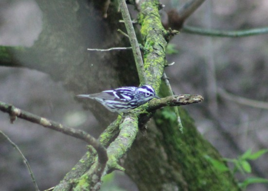 Black-and-white Warbler (Image by David Horowitz)