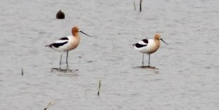 American Avocets (Image by BirdNation
