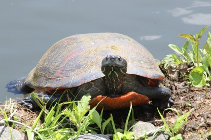 Red-bellied Slider (Image by BirdNation)