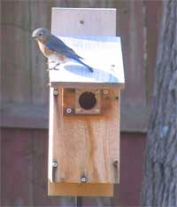 Do You Have Any Resident Bluebirds?