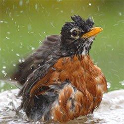 My Nightly Robin Birdbath Assault