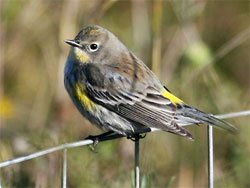 Yellow Rumped Warbler Feeder Sentry