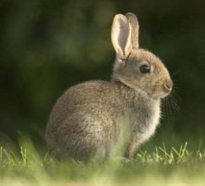 What Do Wild Rabbits Eat?